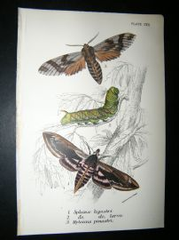 Allen & Kirby 1890's Antique Moth Print. Sphinx Ligustri